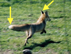 photo of running Sierra Nevada red fox with arrows pointing at ears and tail tip