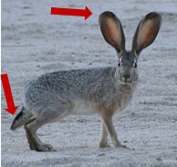 photo of Black-tailed Jackrabbit, with arrow pointing at tail and ear