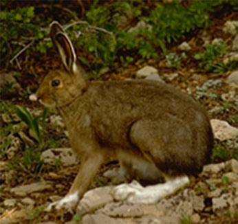 Photo of Rabbit by Robert Potts - fur is Brown