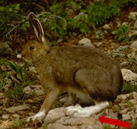 photo Snowshoe Hare - Medium but relatively large arrow pointing at large hind feet and its fur is dark brown