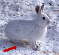 photo Snowshoe Hare - Medium but relatively large hind feet and its fur is dark brown arrows pointing at feet - white fur in winter
