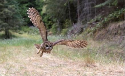 Northern Spotted Owl_thumb