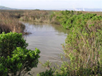 A slough on Roe Island showing typical slough vegetation and adjacent tidal marsh