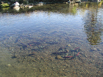 Fish species raised at american river hatchery for American river fishing