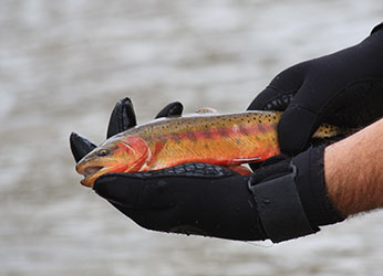 Golden Trout from Cottonwood Lakes