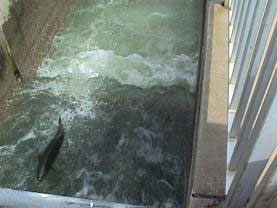 Fish returning to hatchery using fish ladder