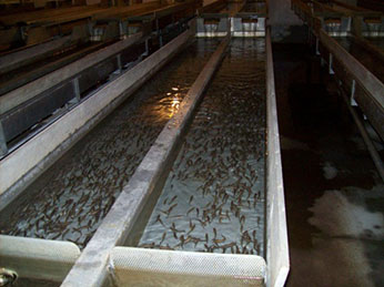 Fingerlings in hatchery troughs