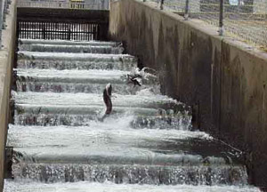 Fish jumping up fish ladder