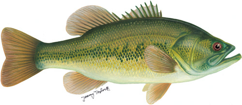 Fishing for black bass for Bass fish images