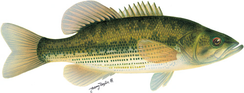 spotted bass illustration by Jeremy Taylor