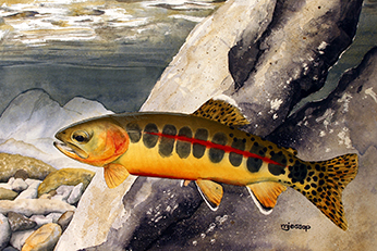 California golden trout watercolor by Mark Jessop of Troutfin Studio
