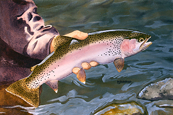 Eagle Lake rainbow trout watercolor by Mark Jessop of Troutfin Studio
