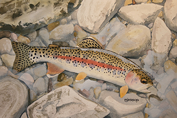 McCloud River redband trout watercolor by Mark Jessop