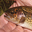 link to Brook Trout information