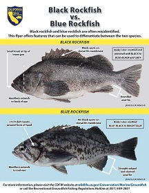 Flyer showing a black rockfish and a blue rockfish highlighting different ID markers
