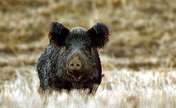 Wild Pig Management Program - Map of areas in us with wild pigs