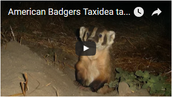 badger - link opens video in new window