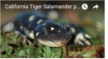 black salamander with white spots - link opens video in new window