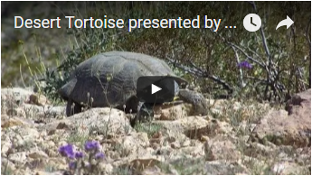 tortoise among desert shrubs - link opens video in new window