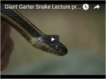 head and neck of small striped snake - link opens video in new window