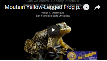 yellow frog with black mottling - link opens video in new window
