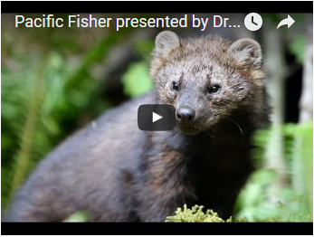 Pacific fisher - link opens video in new window