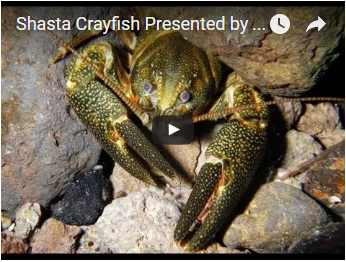gold and black crayfish - link opens video in new window