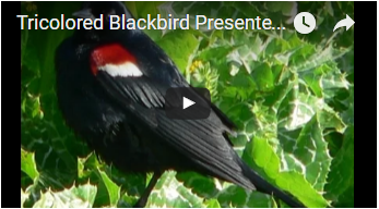 black bird with red and white shoulders - link opens video in new window