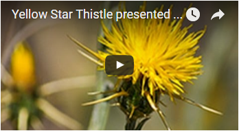 yellow flower with long, thin thorns - link opens video in new window