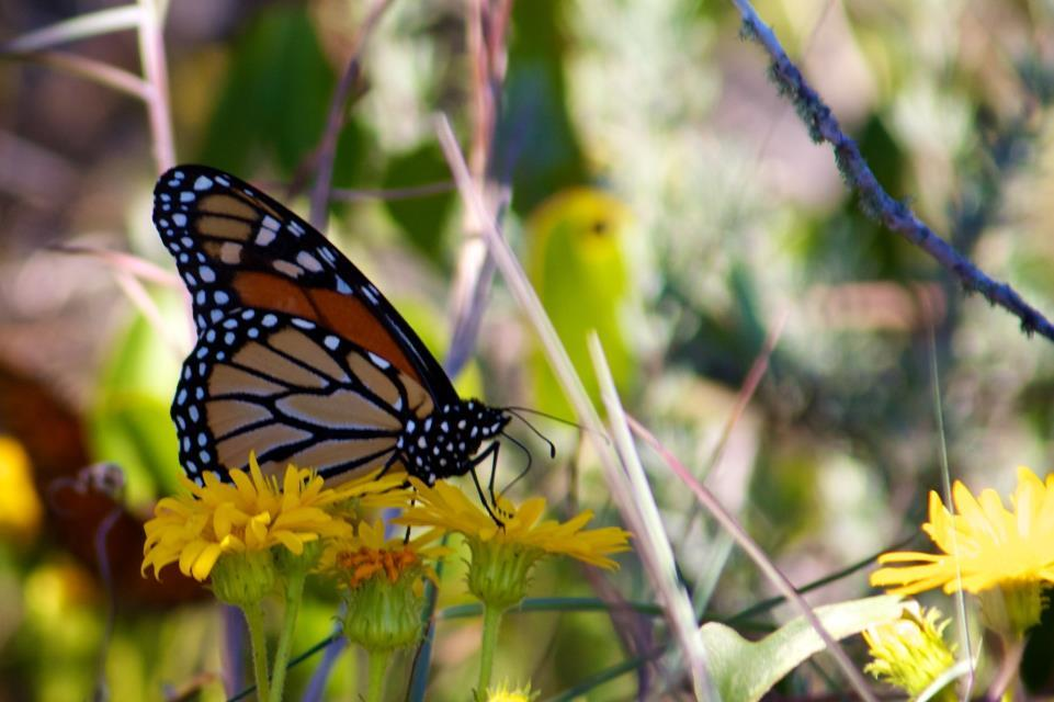 Monarch butterfly - link opens video in new window