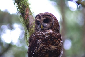 Northern Spotted Owl_Mantor