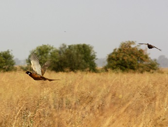 Two  ring-necked pheasants flying