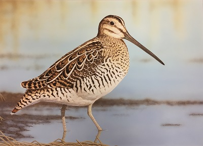 Painting of a snipe - a brown shorebird with a long, straight bill