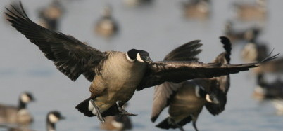 M. Peters Photo, Aleutian Canada Geese