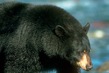CA Black Bear