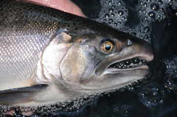 adult Coho Salmon face showing white gums that help identify the species