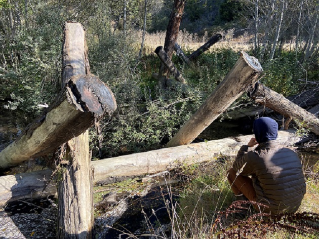 A large woody debris (LWD) restoration structure with multiple large logs in a section of river