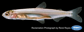 Delta Smelt Juvenile photo by Renee Reyes