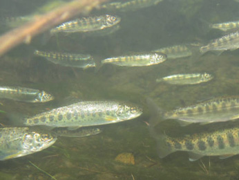 school of juvenile Chinook salmon - small silver fish with spots