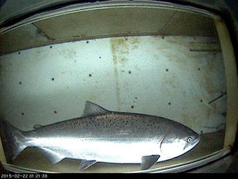 Adult spring-run Chinook