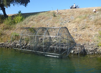 Large-wire fyke trap used for mark-recapture projectre steelhead