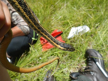 Aquatic Gartersnake monitoring