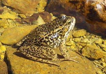 Cascades Frog_Echo Lake Basin