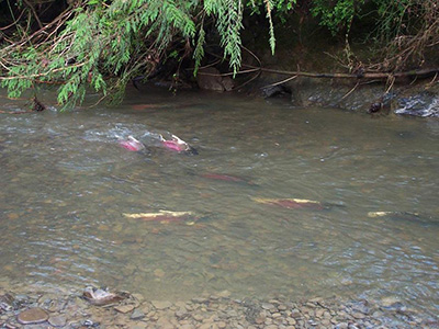 group of adult Coho Salmon spawning on Freshwater Creek