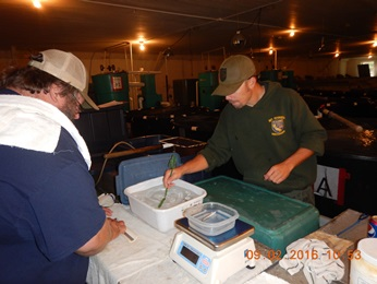 McCloud Redband Trout were measured for lenght and weight and tagged with passive integrated transponders (PIT tags)