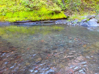 Mill Creek spring-run Chinook salmon redd
