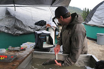 Figure 1: Program lead, Ben White (ACOE) examines adult coho salmon using ultrasound.