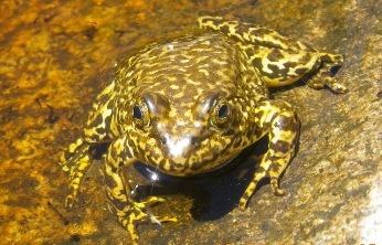 Figure 1. Adult Sierra Nevada Yellow-legged frog. Photo by Jim Erdman