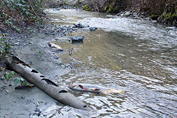 Supply Creek Chinook spawning site