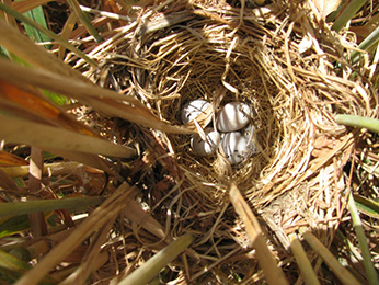 Tricolored Blackbird nest in a triticale grain field- Click to enlarge image in new window